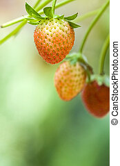 Strawberry fruits on the branch with morning golden sunlight shine on it.