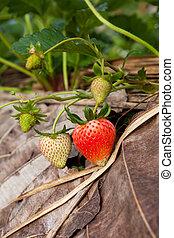 strawberry garden at doi angkhang mountain, chiangmai : thailand