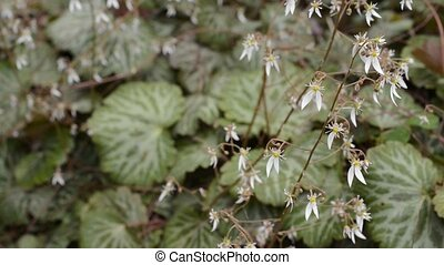 Strawberry geranium flowers - White strawberry geranium...