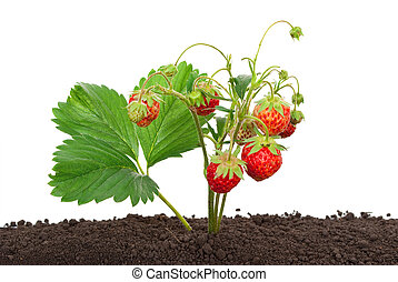 Strawberry growing out of the soil