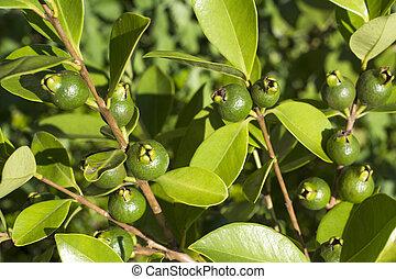 Strawberry guava fruit - Immature yellow strawberry guava ...