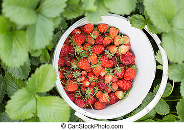 Strawberry in a bucket in the garden in nature