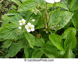 Strawberry in Bloom - A strawberry in bloom