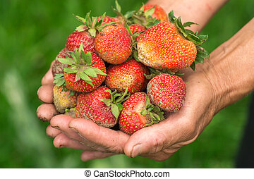Strawberry in hand. Hands gardener. Work-worn hands.