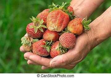 Strawberry in hand. Hands gardener. Work-worn hands. Farmer with freshly strawberry.