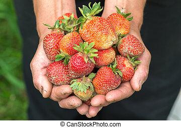 Strawberry in hand. Hands gardener. Work-worn hands. Farmers han