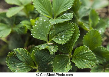 Strawberry leaves with drops of water