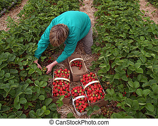 worker in the field filling baskets with freshly picked strawberries