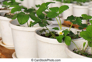 Strawberry plant growing in pot