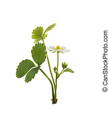 Strawberry plant isolated on white background