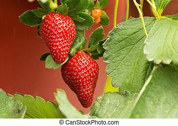 Strawberry plant - Organic strawberry plant with two big...