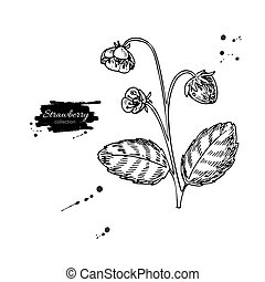 Strawberry plant vector drawing. Isolated hand drawn berry bush