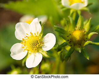 Strawberry plant with several blossoms