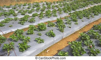 Strawberry Plants on a Farm in the Mountains of Sri Lanka -...