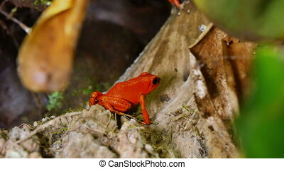 These amphibians are known as dart frogs because indigenous people use the frog's poison for blow darts and arrow poison. All wild dart frogs secrete toxins through their skin. However, captive-hatched frogs and wild ones that have been in captivity for an extended time are not toxic. Color shades ...