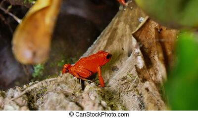 Strawberry Poison Dart Frog Dendrobates Pumilio - These...