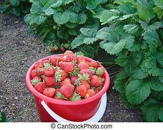 strawberry - Strawberry in a bucket...