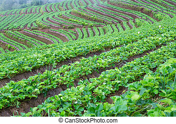 Strawberry farm in northern Thailand, Doi Ang Khang winter.