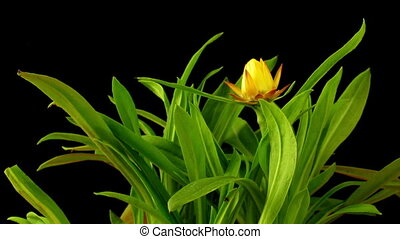 Strawflower Timelapse - Time-lapse of a Strawflower or...
