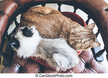 strax ovannämnda, skott, av, två, inrikes katter, jämsides, vila på, röd, fåtölj