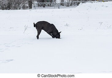 Stray black dog is hunting for little mouse that hiding in deep snow