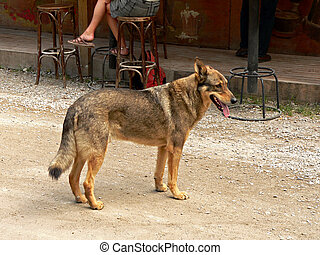 Stray Dog - A stray, yet healthy dog, stands in the street.