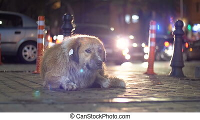 Stray Dog Lies on a City Street at Night on Background of Passing Cars and People