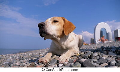 Stray Dog Lies on a Stone Shore of the Sea. A homeless white with a red lonely dog looks into the distance. Hungry, wild and unhappy stray dog Close-up. 4K.