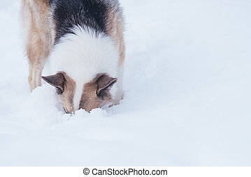 Stray dog looking for food in the snow