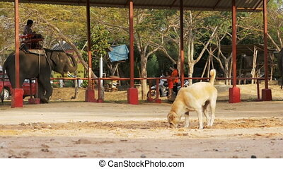 Stray Dog on Elephant Farm Digs a Hole in the Ground on background of Passing Elephants. Thailand