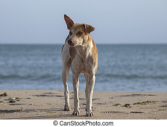 Cute homeless stray dog on the beach in Sri Lanka