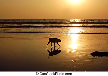 Stray dog on the golden beach of the Inian ocean at sunset.