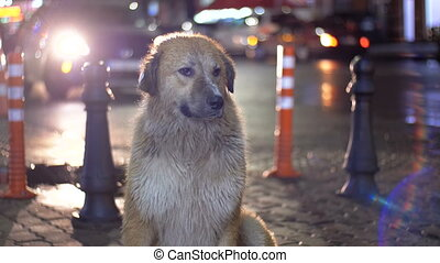 Stray Dog Sits on a City Street at Night on Background of Passing Cars and People