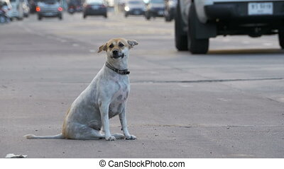 Stray Dog Sits on the Road with Passing Cars and...