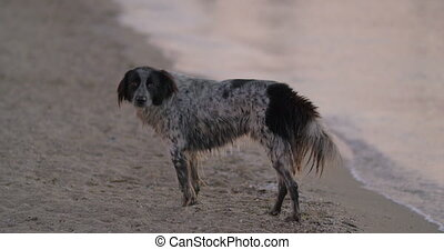 Stray dog wandering at the seaside - Lonely wet mongrel dog...