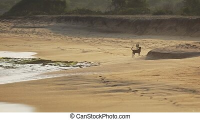 Stray Dogs Running Free on a Sri Lankan Beach. FullHD 1080p...