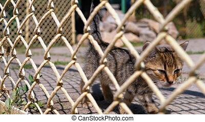 Stray Gray Kitten is Walking near the Fence on the Street....
