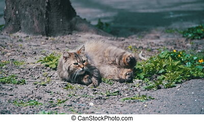 Stray Pregnant Cat Lies on the Ground in the Park and is Sunbathing in the Sun. Slow Motion