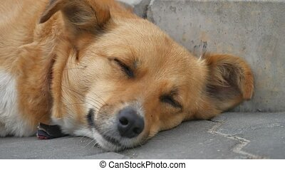 stray red-haired dog is homeless sleeping on the sidewalk....