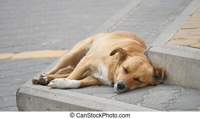 stray red-haired homeless dog is sleeping on the sidewalk....