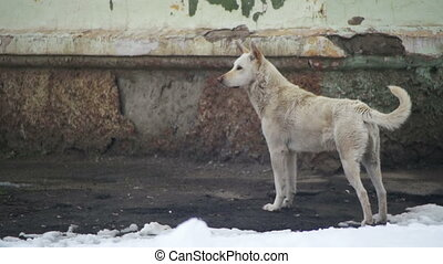 Stray White Dog on a Snowy Street in Winter. Slow Motion