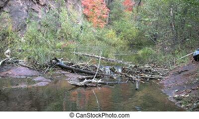 Stream in Fall - a stream and beaver dam in fall