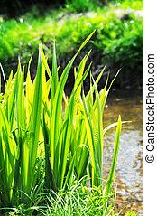 stream reeds