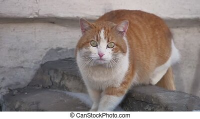 Street homeless cat. ginger cat look at the camera outdoors...