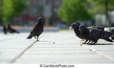street pigeons eat the bread crumbs in the park. - street...