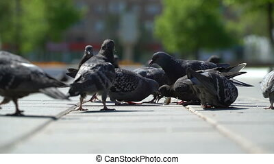 street pigeons eat the bread crumbs in the park. - street ...