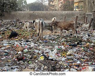 Streets of Kolkata. Animals in trash heap,