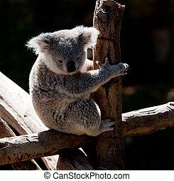 streicheln, koala, zweig, bär