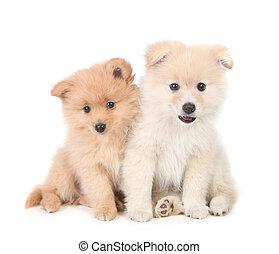 Streicheln,  Pomeranian, zusammen, hintergrund, hundebabys, weißes, glücklich