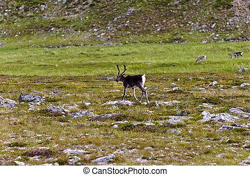 streifen, tundra, norwegen, rentier